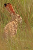 A jack rabbit taken July 24, 2010 near Portales, NM.